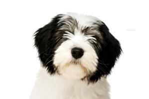 The cute fluffy face of a Polish Lowland Sheepdog with a black button nose