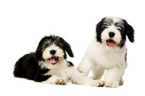 Two gorgeous Polish Lowland Sheepdogs ready to play