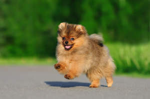A healthy, young Pomeranian bounding across the ground