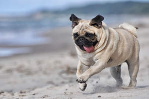 A pug sprinting at full pace with it's tongue out