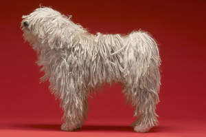 A Komondor standing tall, showing off it's incredible long legs