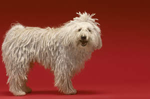 A healthy adult Komondor with a beautifully groomed thick, white coat