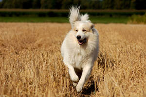 A wonderful Pyrenean Mountain Dog galloping across a field