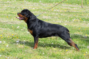 A Rottweiler's incredible, muscular body