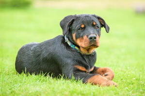 A beautiful, little Rottweiler pup laying in the grass