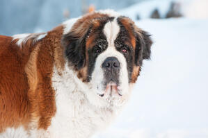 A close up of a Saint Bernard's beautiful, thick winter coat