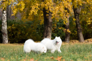 Two Samoyed enjoying each others company outside