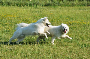 Two adult Samoyeds enjoying some exercise outside together