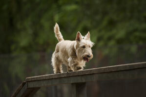 A Scottish Terrier enjoying some exercise on the agiligy equipment