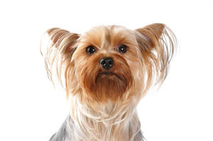 A close up of a Silky Terrier's incredibly groomed coat and pointed ears