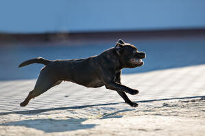 A healthy female Staffordshire Bull Terrier running at full pace