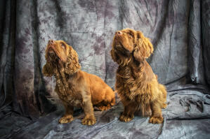 Two beautiful little Sussex Spaniels sitting patiently, waiting for some attention
