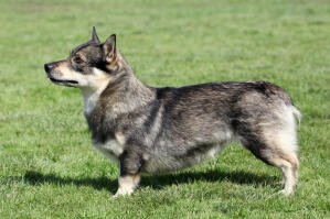 A Swedish Vallhund's incredible short legs and thick, soft coat