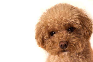A close up of a Toy Poodle's beautiful soft coat and little button eyes