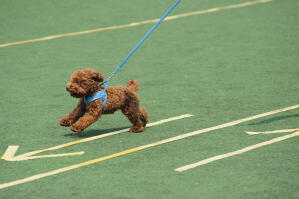 An energetic, little Toy Poodle running at full pace