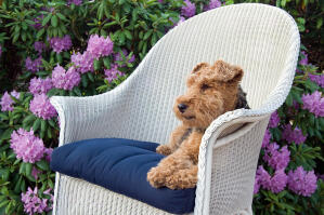 A beautiful Welsh Terrier enjoying a rest on a chair outside