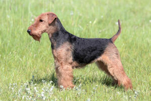 A young Welsh Terrier showing off it's beautiful, short body and wiry coat