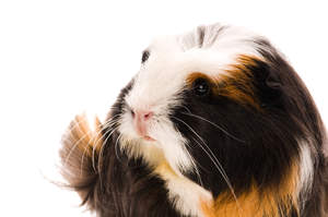 A close up of a Coronet Guinea Pig's lovely little pink nose