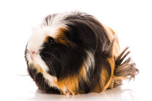 The beautiful long soft coat of a Coronet Guinea Pig