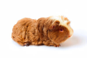 A Merino Guinea Pig with wonderful soft fur