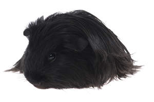A Silky Guinea Pig with incredible long dark fur