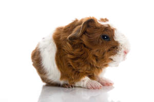 A Texel Guinea Pig's incredible thick curly fur