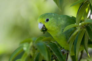 A beautiful Blue Winged Parrotlet, feeding in a tree