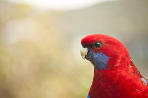 A close up of a Crimson Rosella's beautiful, blue cheek feathers