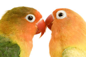 A close up of two Peach Faced Parakeet's beautiful eyes and red beaks