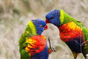 Two Rainbow Lorikeets showing off their incredible colour patterns