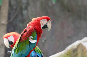 A Red and Blue Macaw's big, strong beak