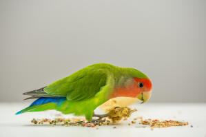 A Rosy Faced Lovebird feeding off the ground