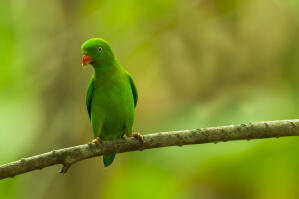 A beautiful, little Vernal Hanging Parrot perched on a branch