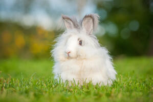 The beautiful thick fluffy fur of an Angora rabbit