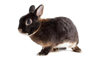 A young Otter Rex rabbit with short ears and beautiful dark eyes