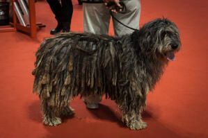 A Bergamasco showing off it's well groomed corded coat