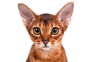 A close up of a beautiful abyssinian kitten with golden eyes