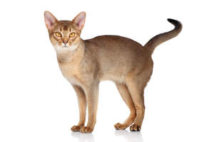 A lovely Abyssinian Cat With Amber Eyes