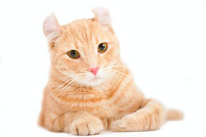 A ginger shorthair american curl with a pink nose