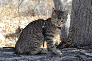 A lovely american bobtail with tabby markings