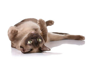 A chocolate burmese cat rolled onto its back