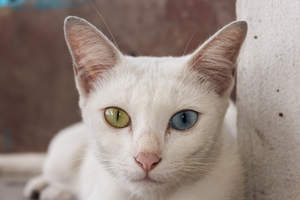 A Khao Manee cat with its odd coloured eyes
