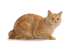 An orange tabby kurillian bobtail with amber eyes