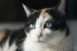 A Ojos Azules cat with the bright blue eyes its famed for