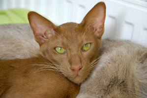 A light cinnamon Oriental cat