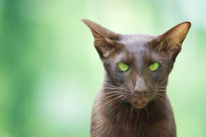 A lovely cinnamon Oriental with green eyes