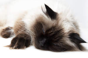 A sleepy Himalayan Persian cat