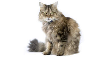A lovely Ragamuffin cat with A fluffy coat
