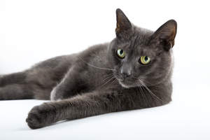 An inquisitive Russian Blue lying down