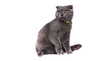 A grey Scottish fold cat